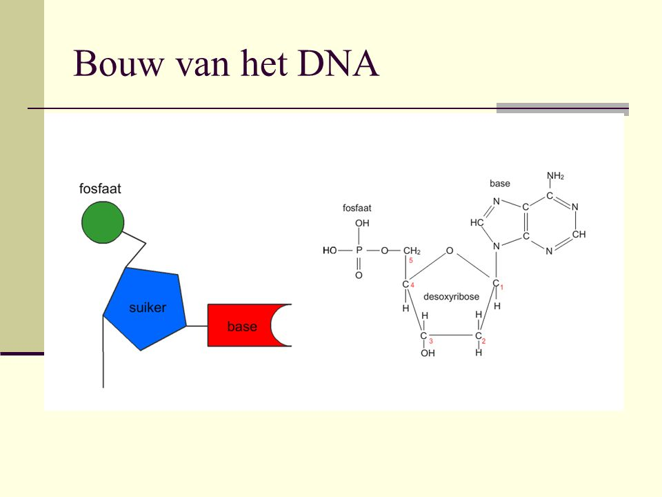 Een nucleotide is opgebouwd uit: 1.Fosfaatgroep 2.