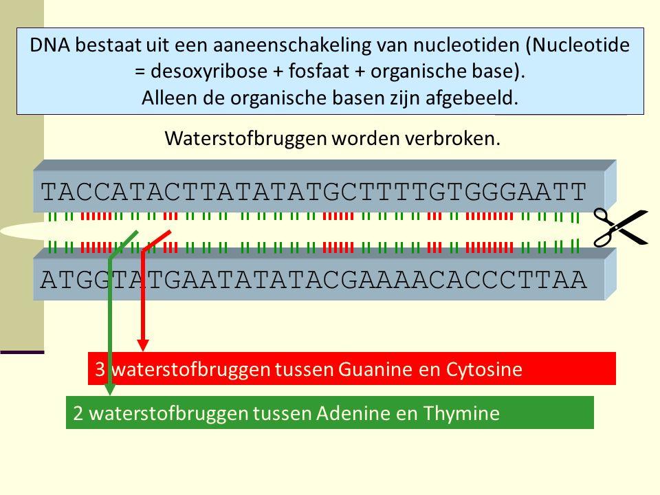 ATGGTATGAATATATACGAAAACACCCTTAA TACCATACTTATATATGCTTTTGTGGGAATT DNA bestaat uit een aaneenschakeling van nucleotiden (Nucleotide = desoxyribose + fosf