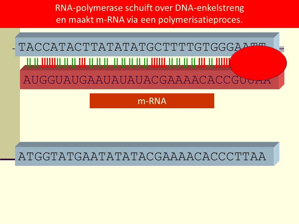 ATGGTATGAATATATACGAAAACACCCTTAA TACCATACTTATATATGCTTTTGTGGGAATT AUGGUAUGAAUAUAUACGAAAACACCGUUAA m-RNA RNA-polymerase schuift over DNA-enkelstreng en m