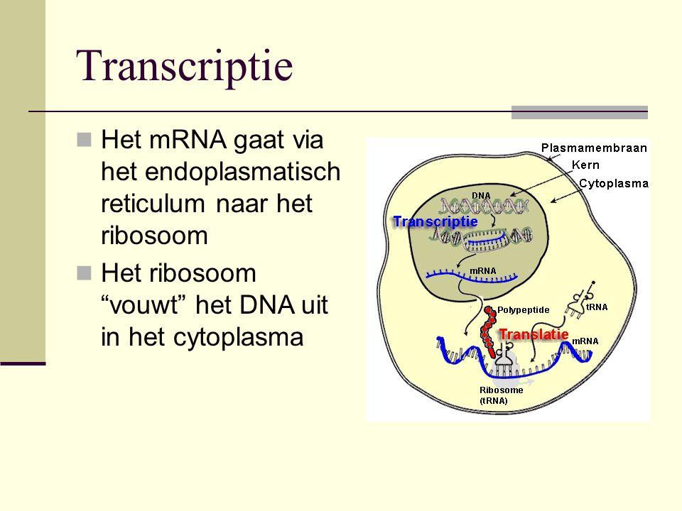 """Het mRNA gaat via het endoplasmatisch reticulum naar het ribosoom Het ribosoom """"vouwt"""" het DNA uit in het cytoplasma Transcriptie"""