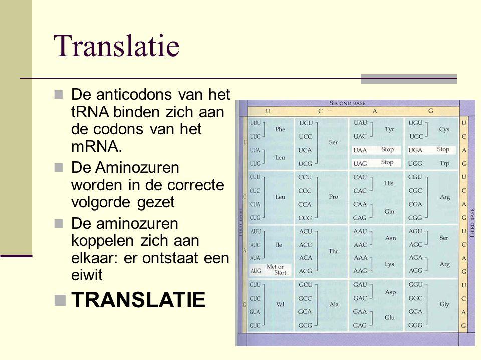 Translatie De anticodons van het tRNA binden zich aan de codons van het mRNA. De Aminozuren worden in de correcte volgorde gezet De aminozuren koppele