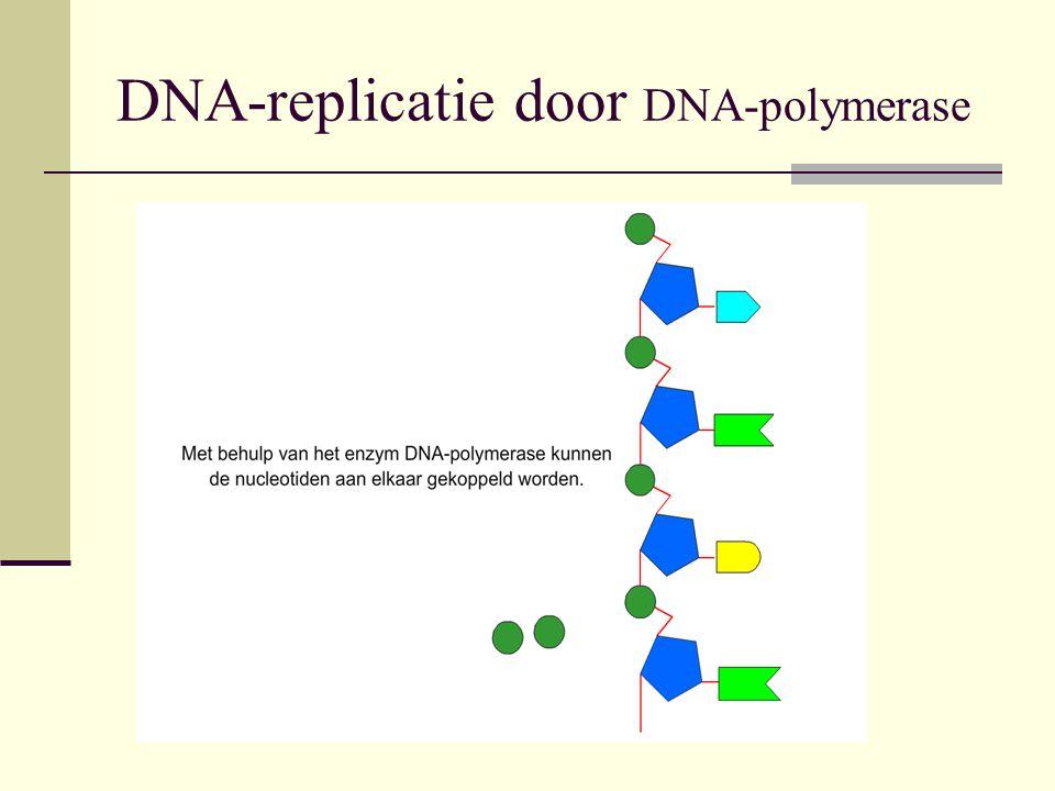 Bouw van het DNA Het DNA is opgebouwd uit twee ketens van nucleotiden