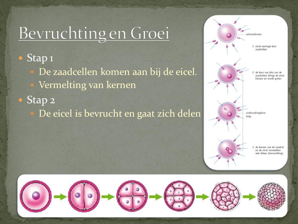 Stap 1 De zaadcellen komen aan bij de eicel. Vermelting van kernen Stap 2 De eicel is bevrucht en gaat zich delen