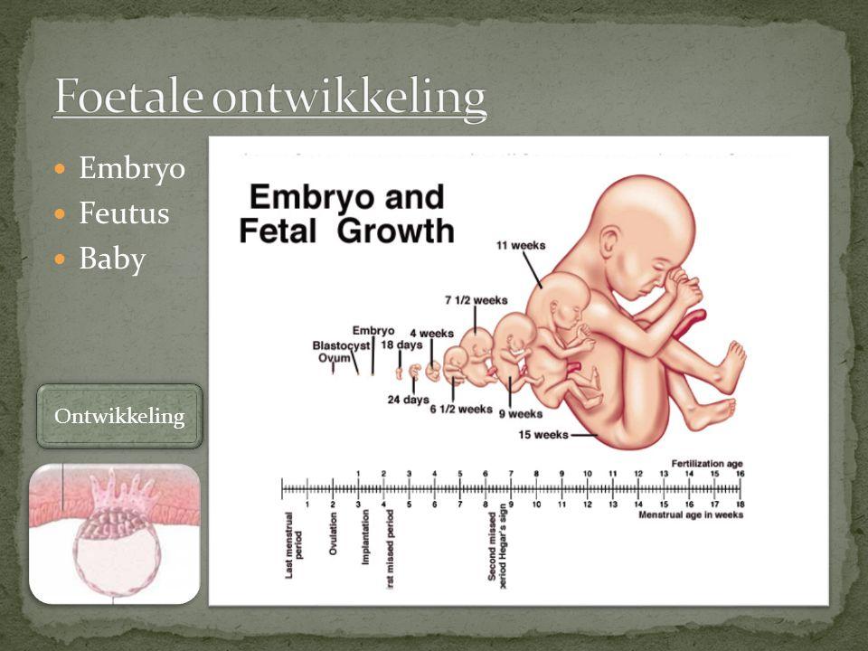 Embryo Feutus Baby Ontwikkeling
