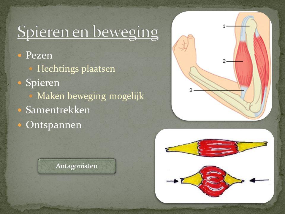 Pezen Hechtings plaatsen Spieren Maken beweging mogelijk Samentrekken Ontspannen Antagonisten
