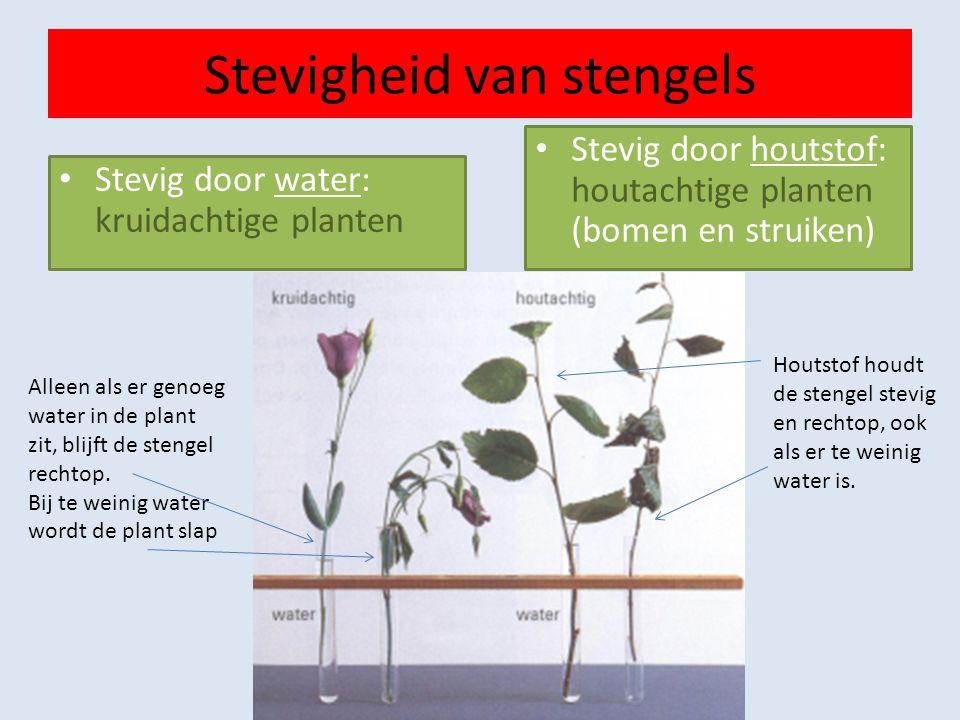 Stevigheid van stengels Stevig door water: kruidachtige planten Stevig door houtstof: houtachtige planten (bomen en struiken) Houtstof houdt de stengel stevig en rechtop, ook als er te weinig water is.