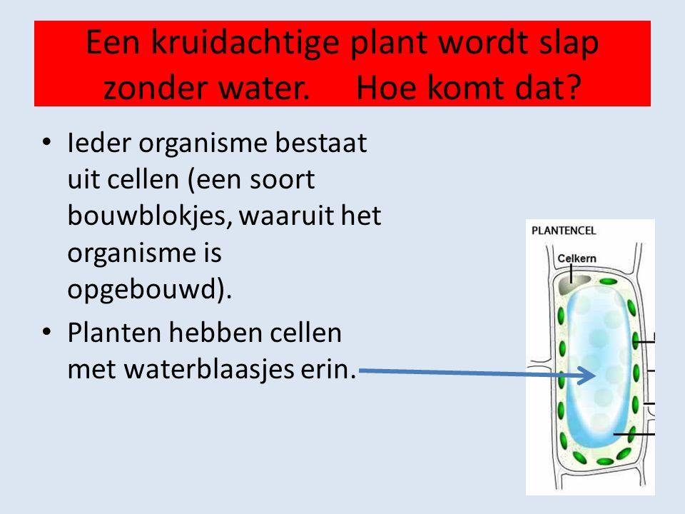 Een kruidachtige plant wordt slap zonder water.Hoe komt dat.