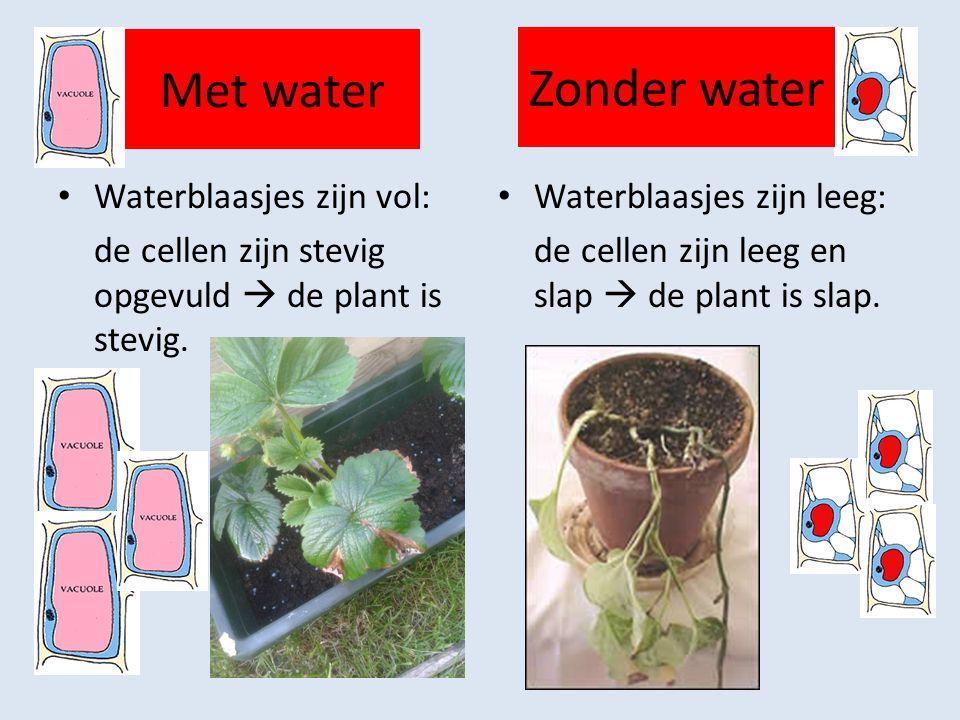 Met water Waterblaasjes zijn vol: de cellen zijn stevig opgevuld  de plant is stevig.