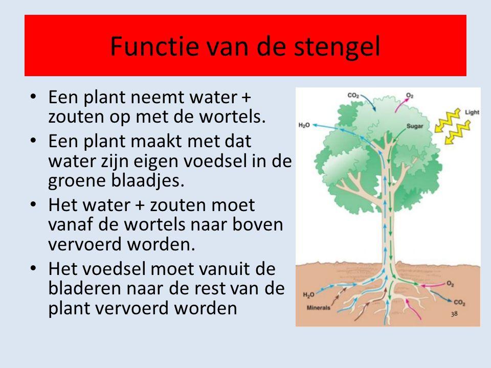 Functie van de stengel Een plant neemt water + zouten op met de wortels.