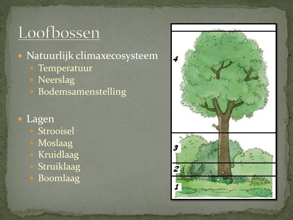 Natuurlijk climaxecosysteem Temperatuur Neerslag Bodemsamenstelling Lagen Strooisel Moslaag Kruidlaag Struiklaag Boomlaag