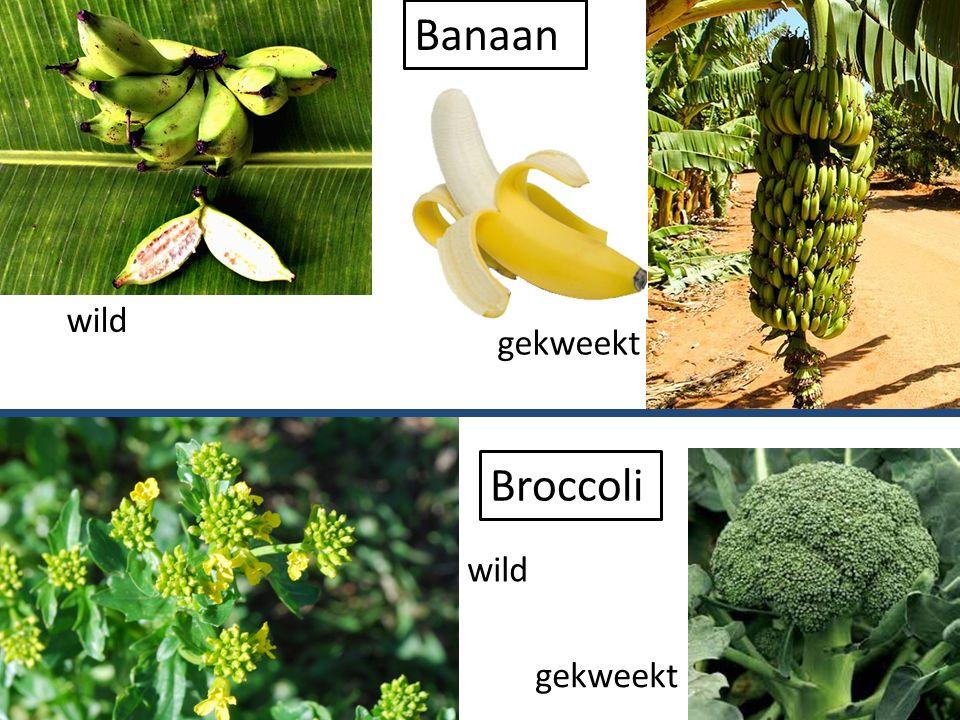 Eetbare delen van planten We eten (delen van) wortels van planten: In de zomer maken planten veel glucose door fotosynthese, sommige planten slaan een deel daarvan op als reservevoedsel in de wortels We eten (delen van) wortels van planten: In de zomer maken planten veel glucose door fotosynthese, sommige planten slaan een deel daarvan op als reservevoedsel in de wortels worteltjes Rode bieten gember suikerbiet