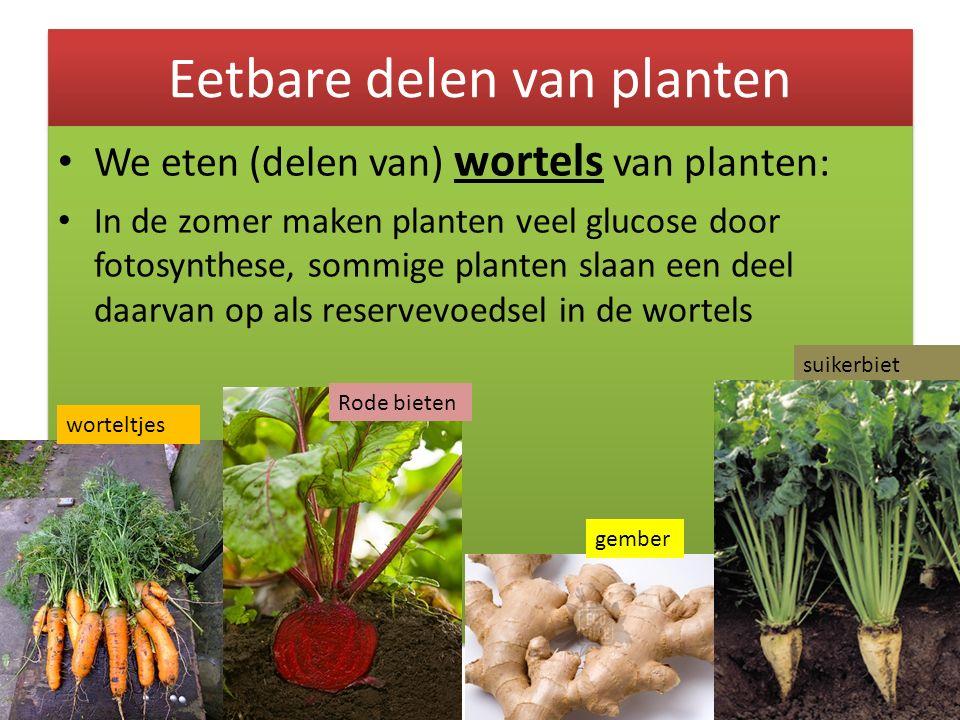 Eetbare delen van planten We eten (delen van) wortels van planten: In de zomer maken planten veel glucose door fotosynthese, sommige planten slaan een