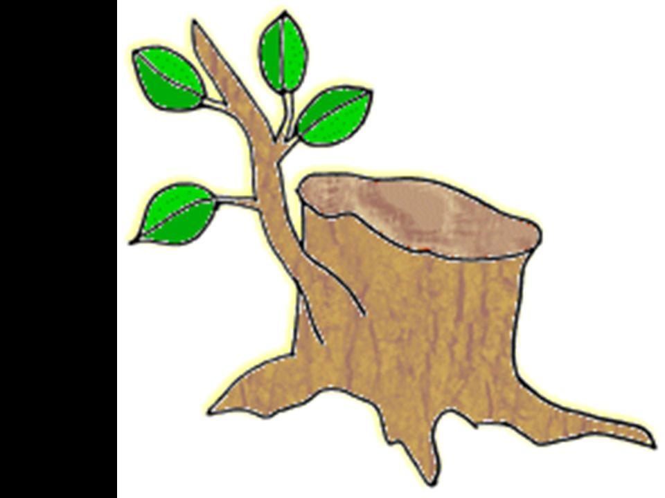 1.Jezus als de scheut uit stronk van Isaï 2.In het nieuwe verbond geënt op de edele olijf 3.En daarom dus de kinderdoop.