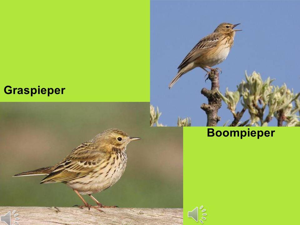 Vervolgcursus 22 oktober 2015 Graspieper Boompieper