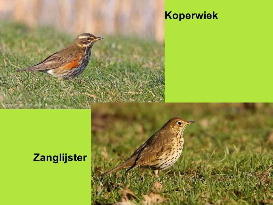 Vervolgcursus 22 oktober 2015 PP PP Koperwiek Zanglijster
