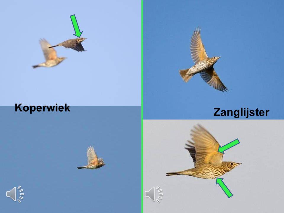 Vervolgcursus 22 oktober 2015 Koperwiek Zanglijster