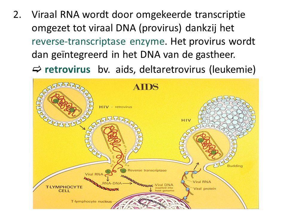 2. Viraal RNA wordt door omgekeerde transcriptie omgezet tot viraal DNA (provirus) dankzij het reverse-transcriptase enzyme. Het provirus wordt dan ge