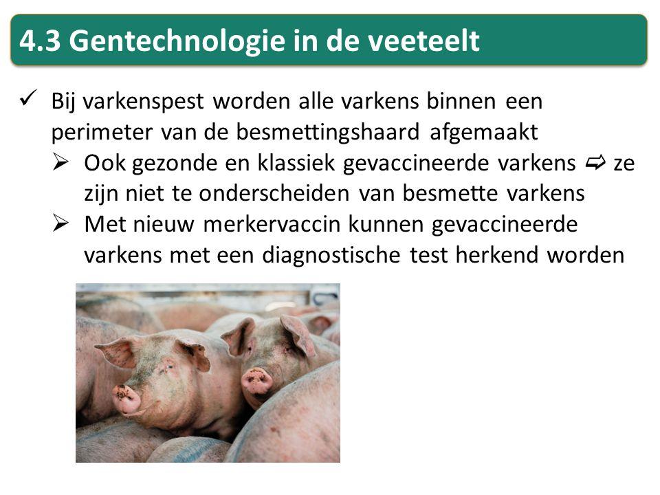 4.3 Gentechnologie in de veeteelt Bij varkenspest worden alle varkens binnen een perimeter van de besmettingshaard afgemaakt  Ook gezonde en klassiek