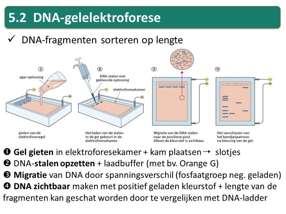 5.2 DNA-gelelektroforese DNA-fragmenten sorteren op lengte  Gel gieten in elektroforesekamer + kam plaatsen  slotjes  DNA-stalen opzetten + laadbuf