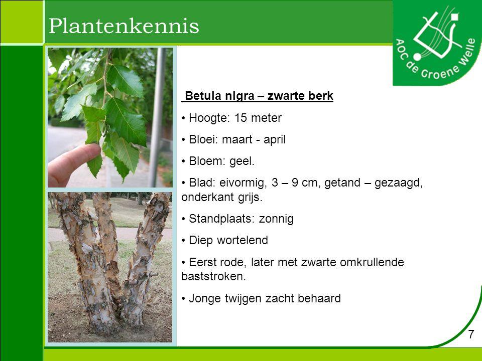 Betula nigra – zwarte berk Hoogte: 15 meter Bloei: maart - april Bloem: geel. Blad: eivormig, 3 – 9 cm, getand – gezaagd, onderkant grijs. Standplaats