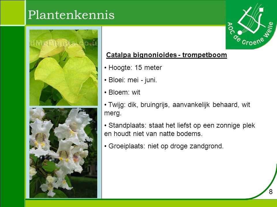 Catalpa bignonioides - trompetboom Hoogte: 15 meter Bloei: mei - juni.