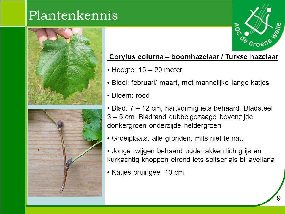 Corylus colurna – boomhazelaar / Turkse hazelaar Hoogte: 15 – 20 meter Bloei: februari/ maart, met mannelijke lange katjes Bloem: rood Blad: 7 – 12 cm