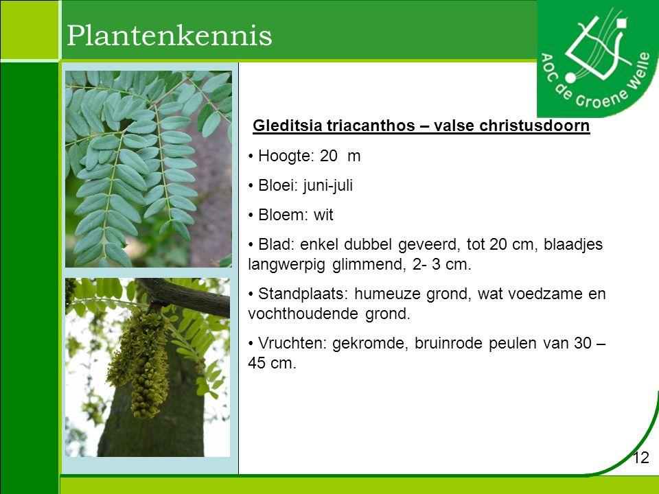 Plantenkennis Gleditsia triacanthos – valse christusdoorn Hoogte: 20 m Bloei: juni-juli Bloem: wit Blad: enkel dubbel geveerd, tot 20 cm, blaadjes langwerpig glimmend, 2- 3 cm.