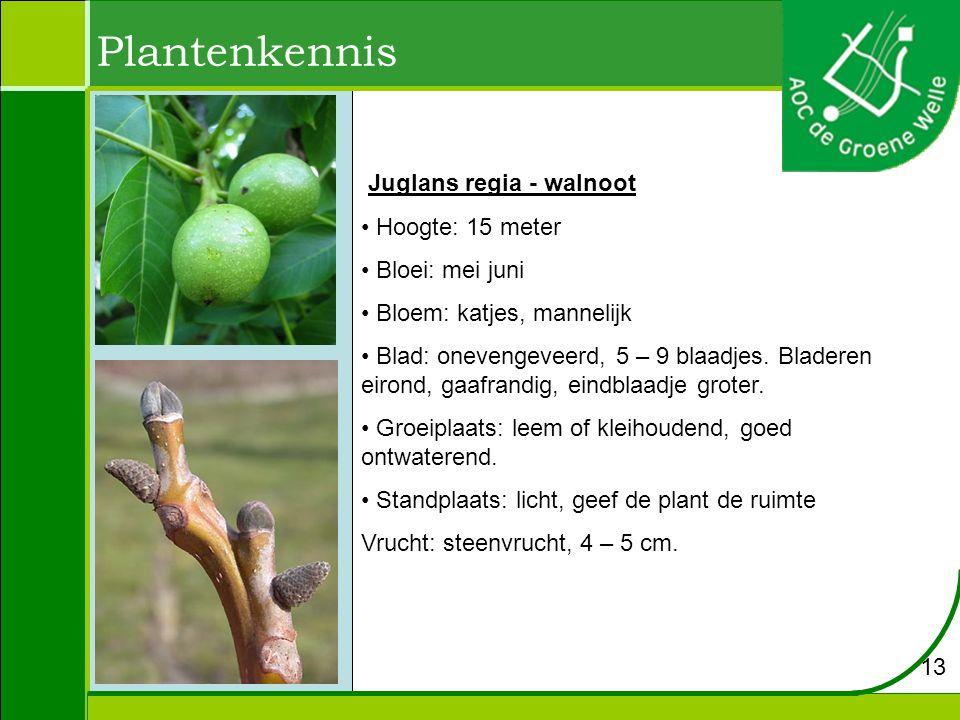 Plantenkennis Juglans regia - walnoot Hoogte: 15 meter Bloei: mei juni Bloem: katjes, mannelijk Blad: onevengeveerd, 5 – 9 blaadjes. Bladeren eirond,