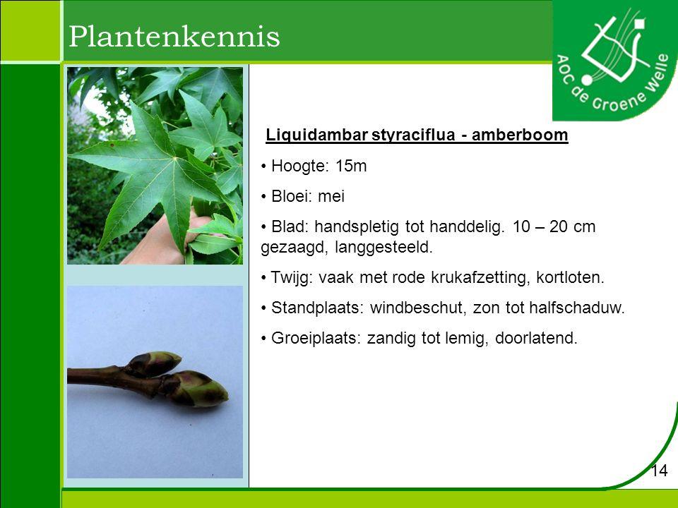 Plantenkennis Liquidambar styraciflua - amberboom Hoogte: 15m Bloei: mei Blad: handspletig tot handdelig. 10 – 20 cm gezaagd, langgesteeld. Twijg: vaa