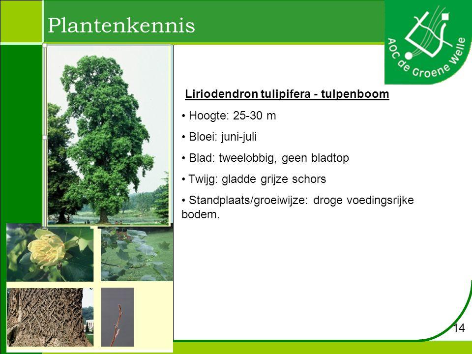 Plantenkennis Liriodendron tulipifera - tulpenboom Hoogte: 25-30 m Bloei: juni-juli Blad: tweelobbig, geen bladtop Twijg: gladde grijze schors Standpl