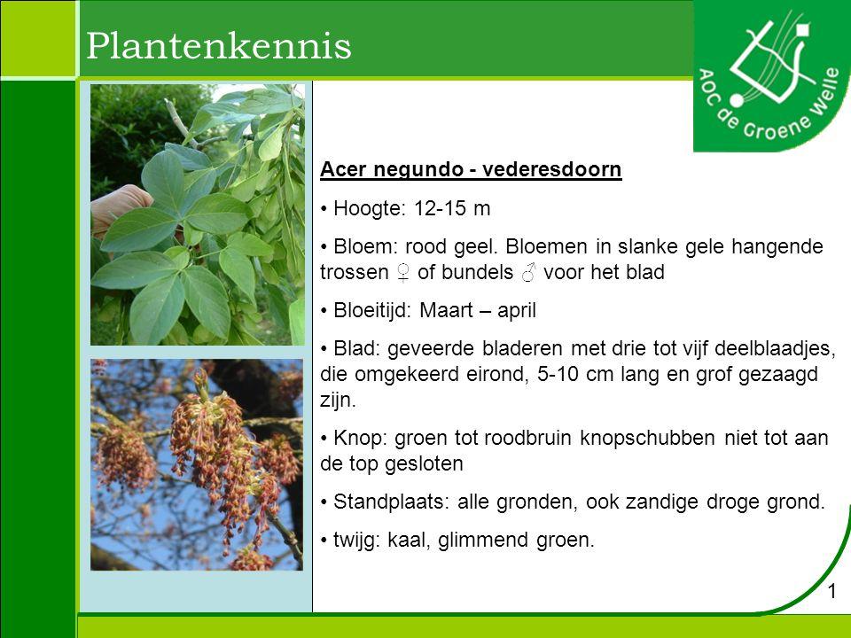 Acer negundo - vederesdoorn Hoogte: 12-15 m Bloem: rood geel. Bloemen in slanke gele hangende trossen ♀ of bundels ♂ voor het blad Bloeitijd: Maart –