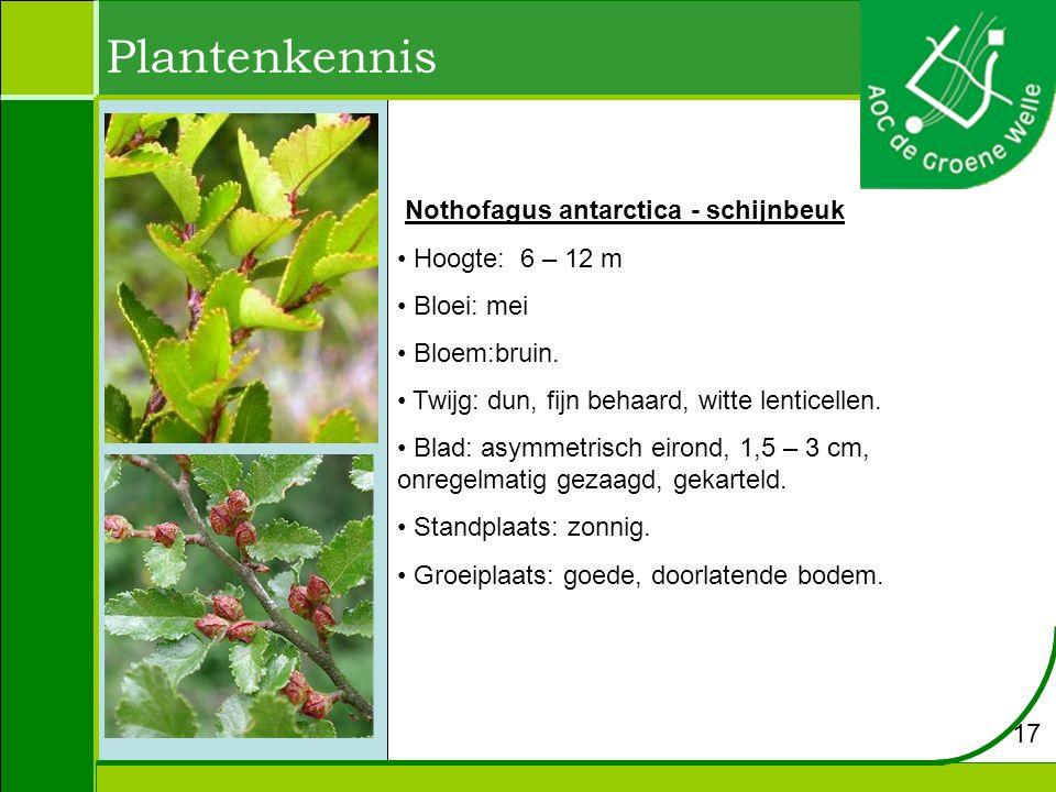Plantenkennis Nothofagus antarctica - schijnbeuk Hoogte: 6 – 12 m Bloei: mei Bloem:bruin. Twijg: dun, fijn behaard, witte lenticellen. Blad: asymmetri