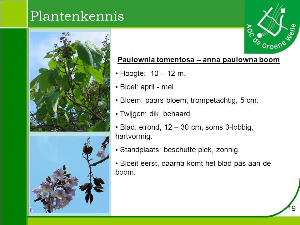 Plantenkennis Paulownia tomentosa – anna paulowna boom Hoogte: 10 – 12 m. Bloei: april - mei Bloem: paars bloem, trompetachtig, 5 cm. Twijgen: dik, be