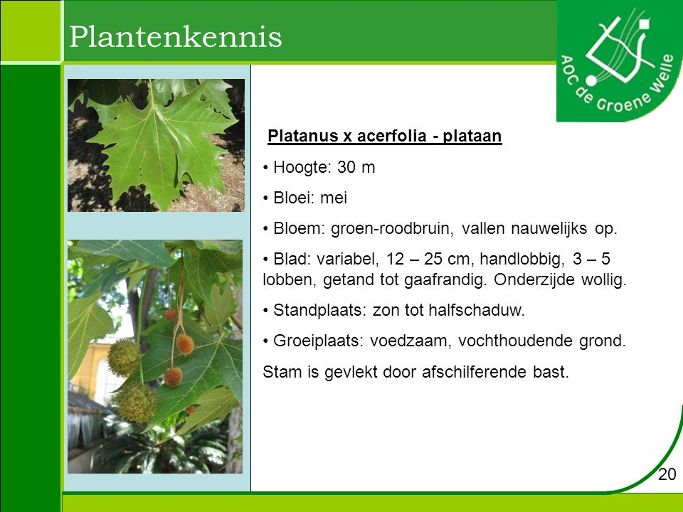 Plantenkennis Platanus x acerfolia - plataan Hoogte: 30 m Bloei: mei Bloem: groen-roodbruin, vallen nauwelijks op. Blad: variabel, 12 – 25 cm, handlob