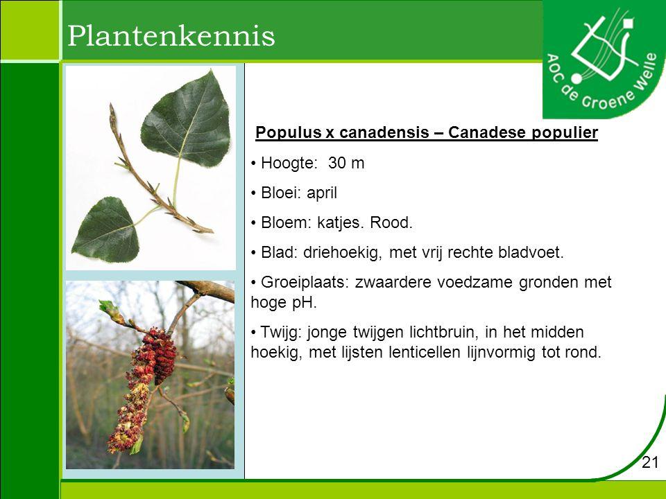 Plantenkennis Populus x canadensis – Canadese populier Hoogte: 30 m Bloei: april Bloem: katjes. Rood. Blad: driehoekig, met vrij rechte bladvoet. Groe