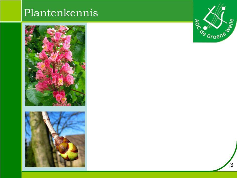 Aesculus x carnea – rode paardekastanje Hoogte: tot 20 meter Bloei: mei - juni Bloem: roze pluimen.