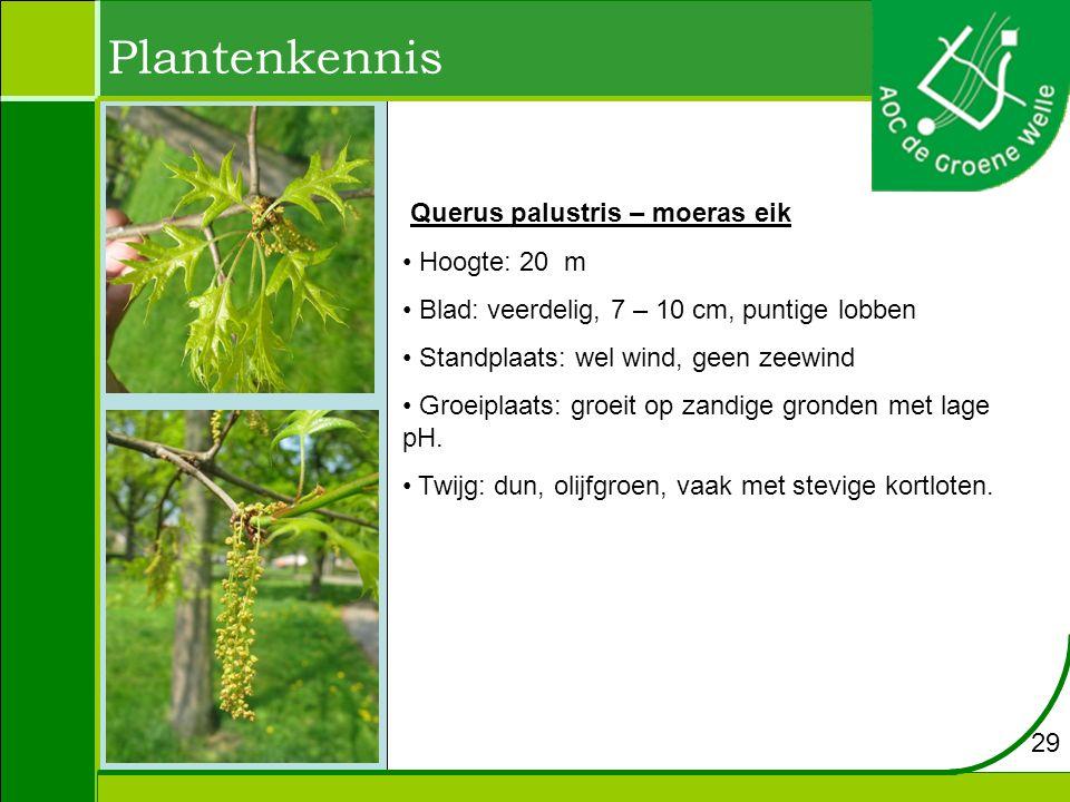 Plantenkennis Querus palustris – moeras eik Hoogte: 20 m Blad: veerdelig, 7 – 10 cm, puntige lobben Standplaats: wel wind, geen zeewind Groeiplaats: groeit op zandige gronden met lage pH.