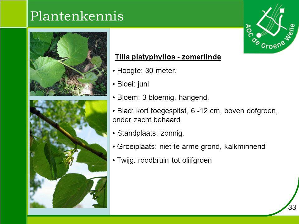 Plantenkennis Tilia platyphyllos - zomerlinde Hoogte: 30 meter. Bloei: juni Bloem: 3 bloemig, hangend. Blad: kort toegespitst, 6 -12 cm, boven dofgroe