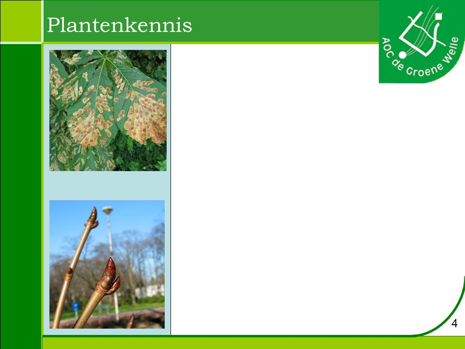 Aesculus hippocastanum - paardekastanje Hoogte: 20 tot 25 m Bloei: mei Bloem: wit, eindstandige bloempluim Groeiplaats: kleigrond of leemhoudende grond, maar gedijt ook in andere grondsoorten Blad: handvormige samengestelde bladeren.