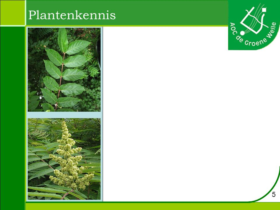 Plantenkennis Populus x canadensis – Canadese populier Hoogte: 30 m Bloei: april Bloem: katjes.
