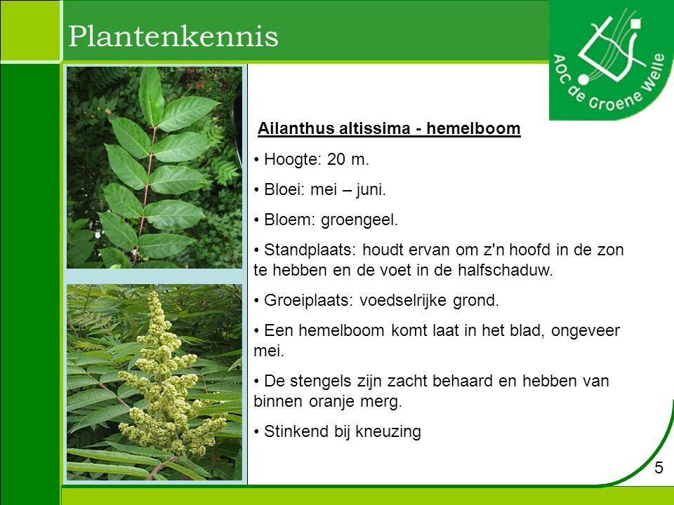 Ailanthus altissima - hemelboom Hoogte: 20 m. Bloei: mei – juni. Bloem: groengeel. Standplaats: houdt ervan om z'n hoofd in de zon te hebben en de voe