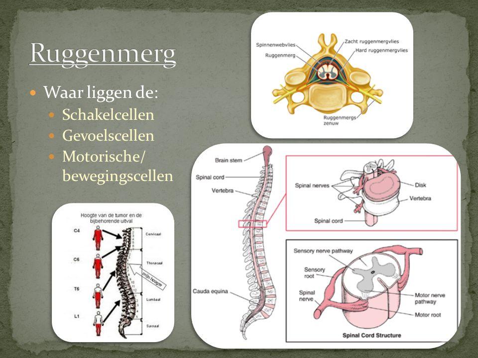Waar liggen de: Schakelcellen Gevoelscellen Motorische/ bewegingscellen