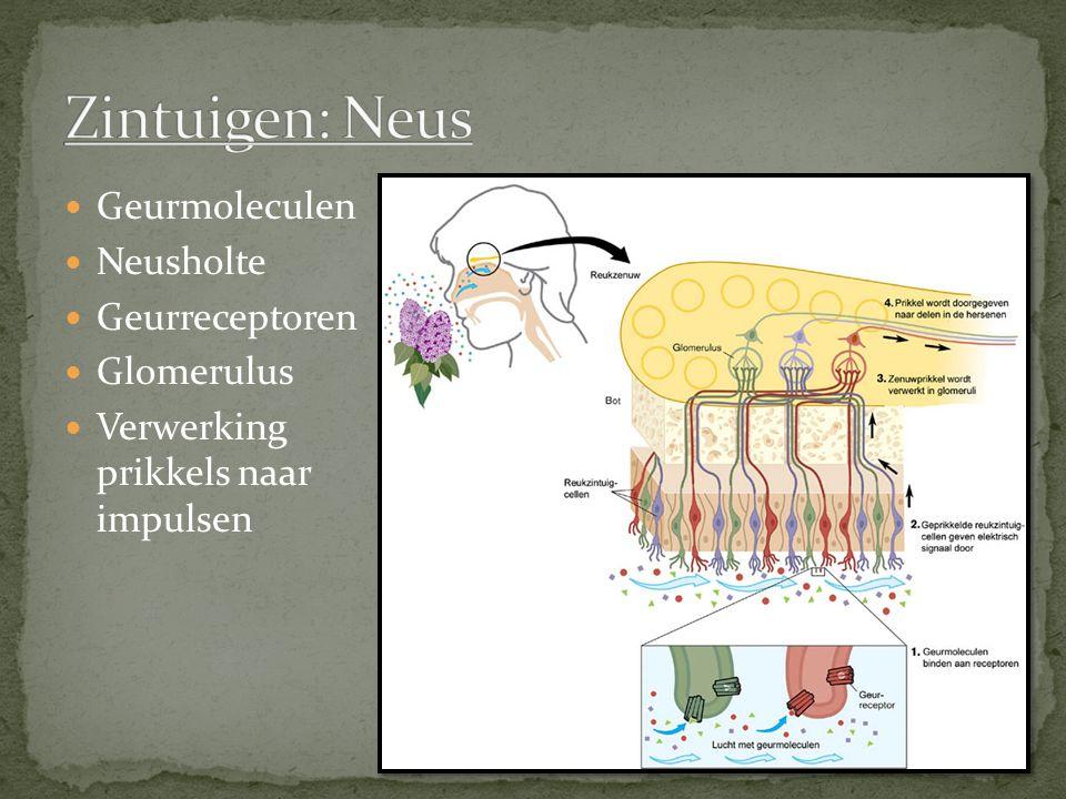 Geurmoleculen Neusholte Geurreceptoren Glomerulus Verwerking prikkels naar impulsen