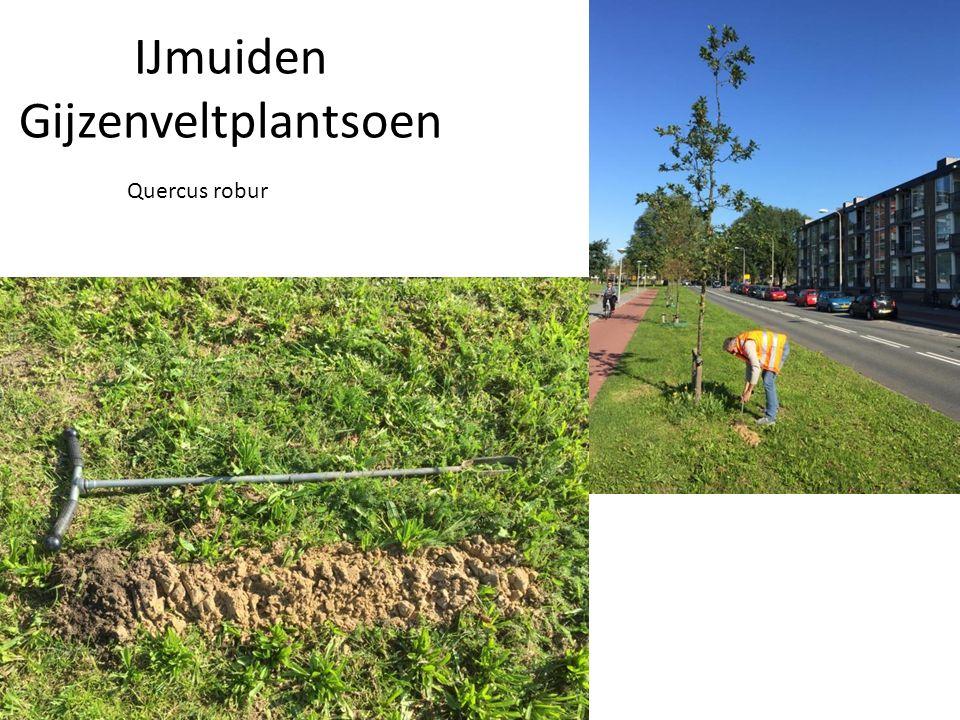 IJmuiden Gijzenveltplantsoen Quercus robur