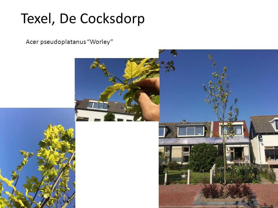 "Acer pseudoplatanus ""Worley"""