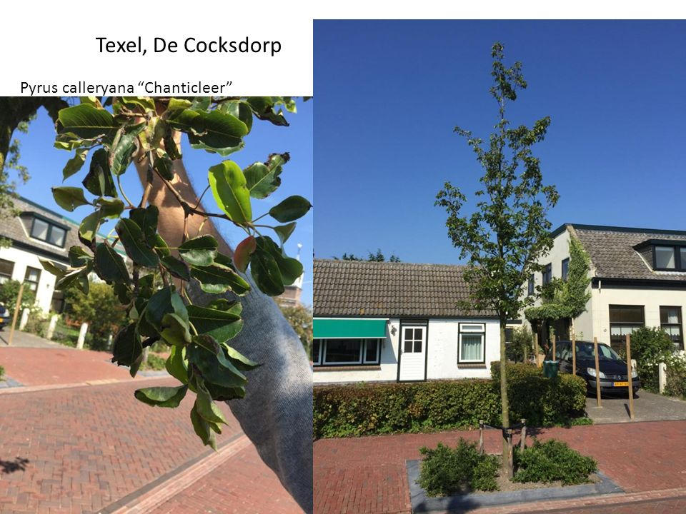 "Texel, De Cocksdorp Pyrus calleryana ""Chanticleer"""