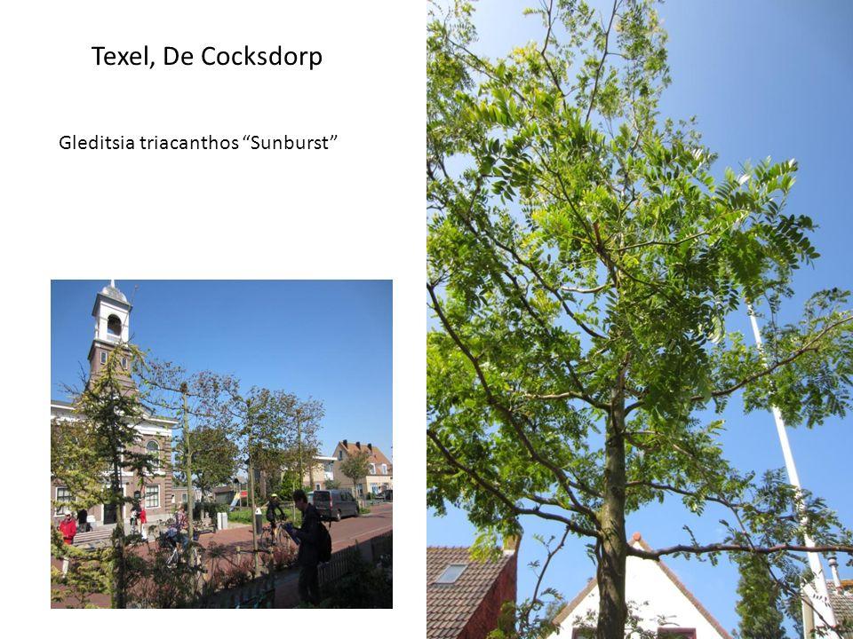Texel, De Cocksdorp Gleditsia triacanthos Sunburst