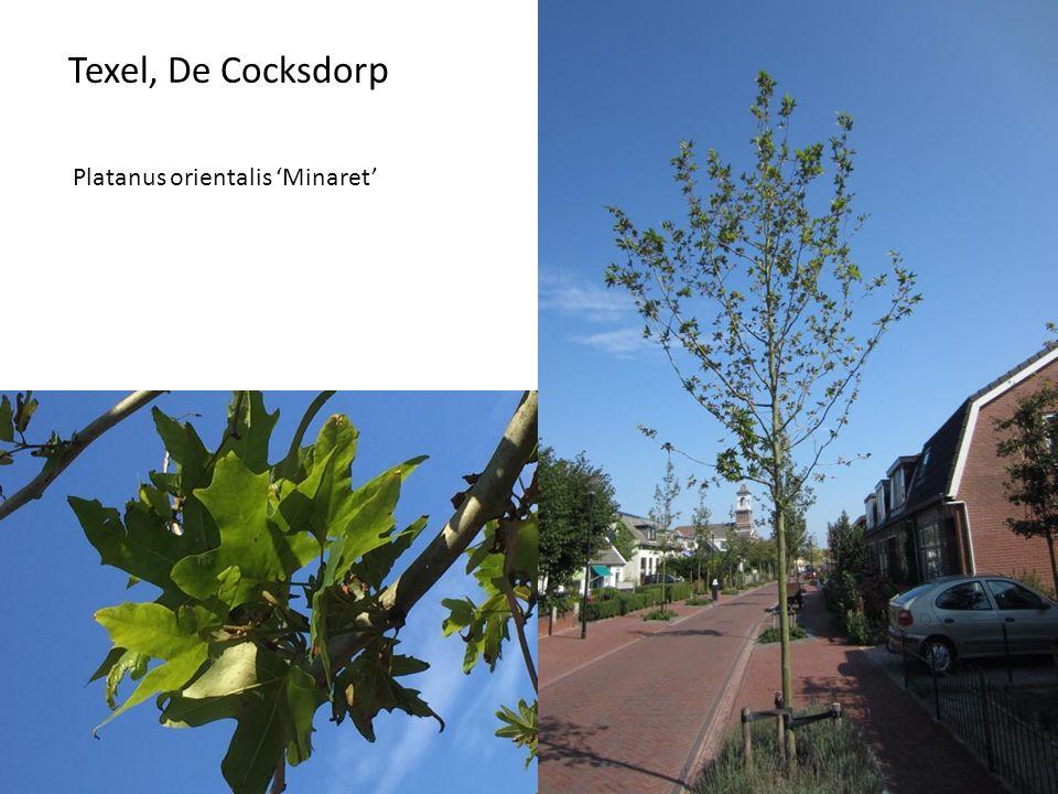 Texel, De Cocksdor p Platanus orientalis 'Minaret'