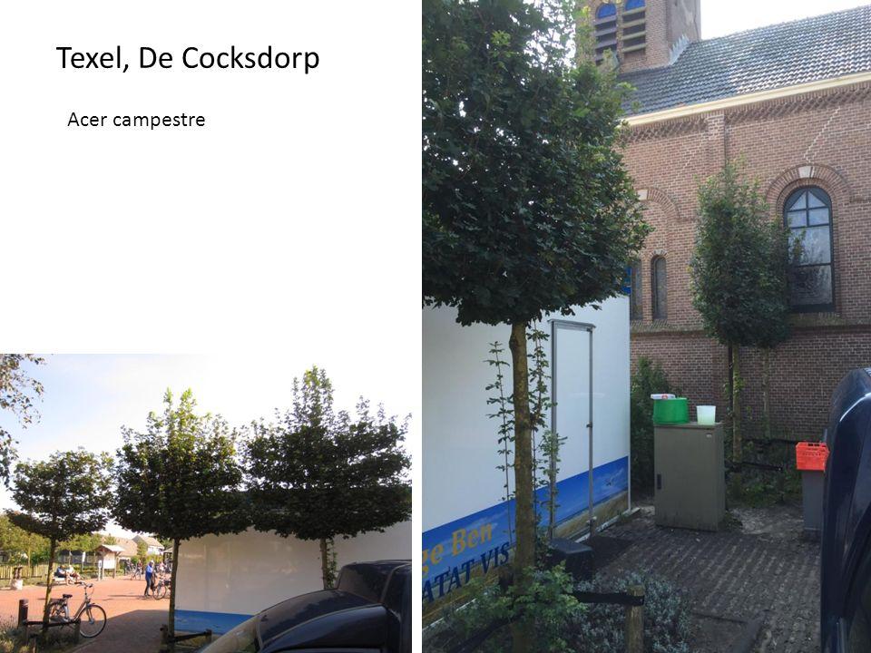 Texel, De Cocksdor p Acer campestre