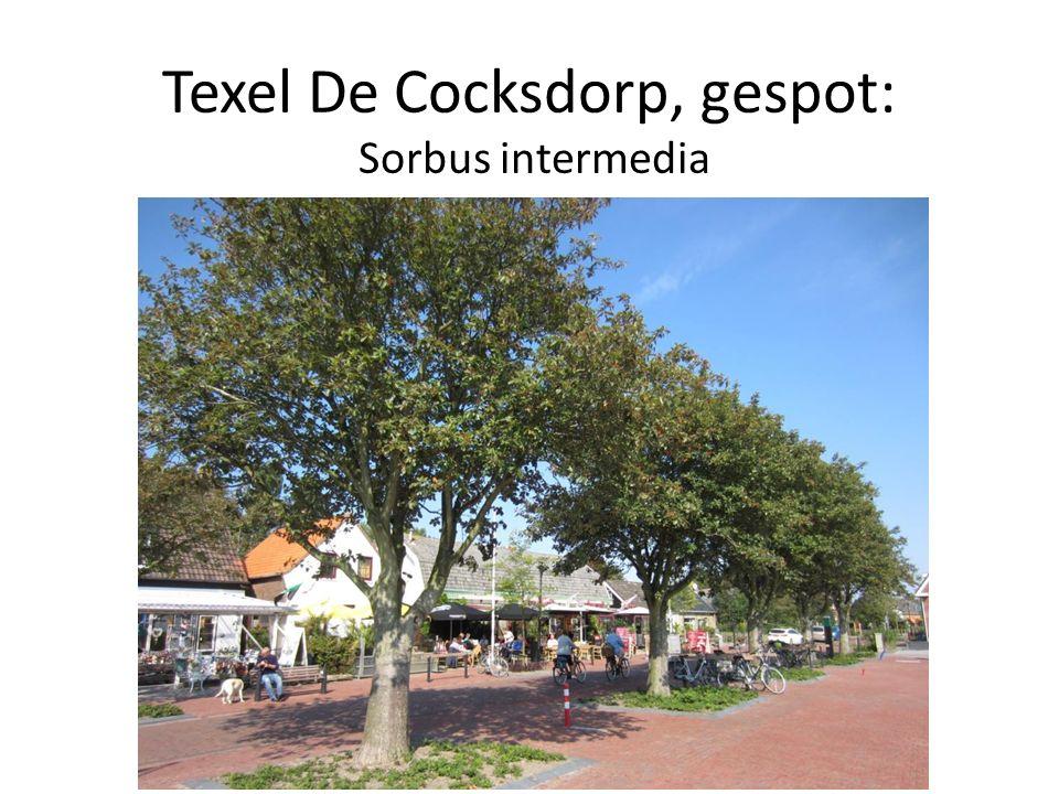 Texel De Cocksdorp, gespot: Sorbus intermedia